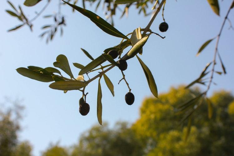 Broodsmeersel met zwarte olijven en kerriepoeder